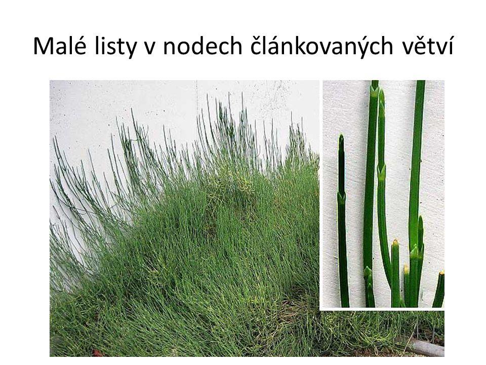 Malé listy v nodech článkovaných větví