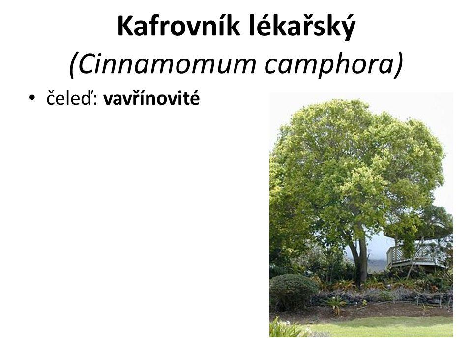 Kafrovník lékařský (Cinnamomum camphora) čeleď: vavřínovité