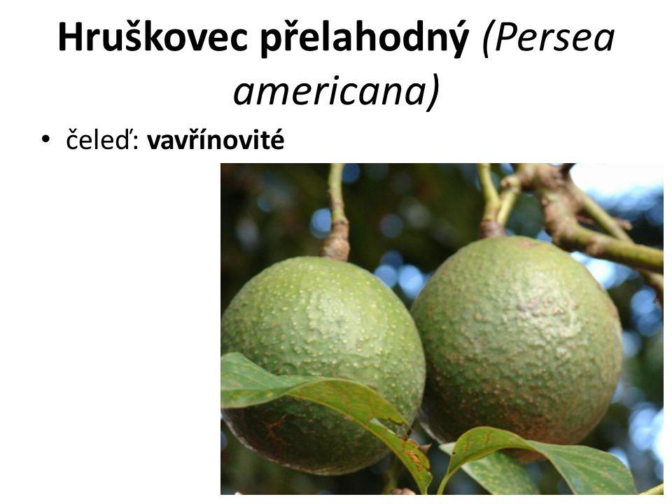 Hruškovec přelahodný (Persea americana) čeleď: vavřínovité