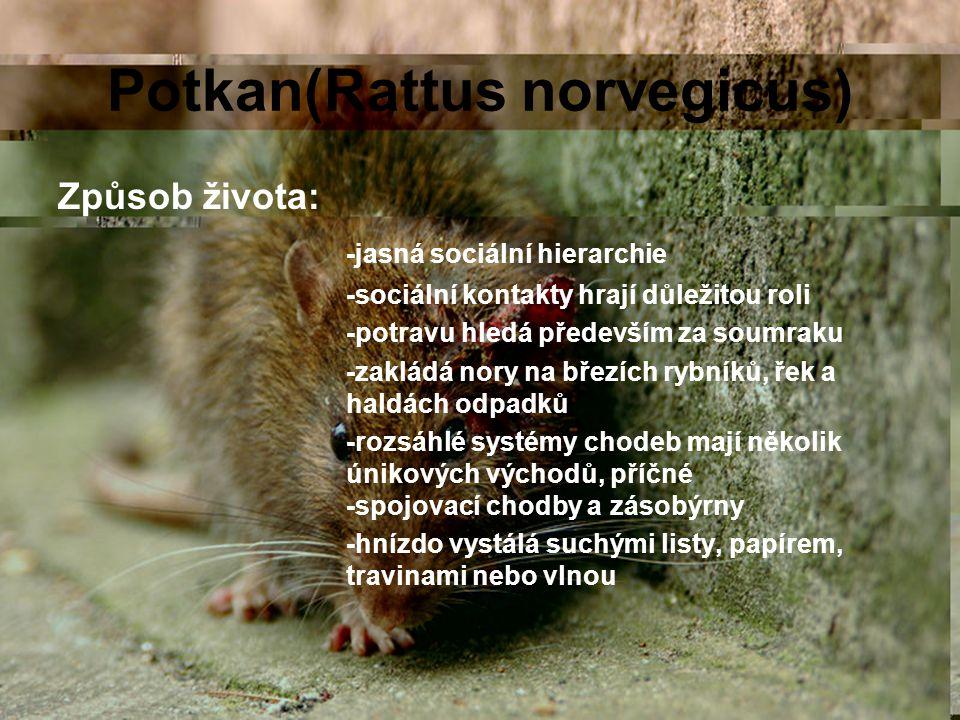 Potkan(Rattus norvegicus) Způsob života: -jasná sociální hierarchie -sociální kontakty hrají důležitou roli -potravu hledá především za soumraku -zakl