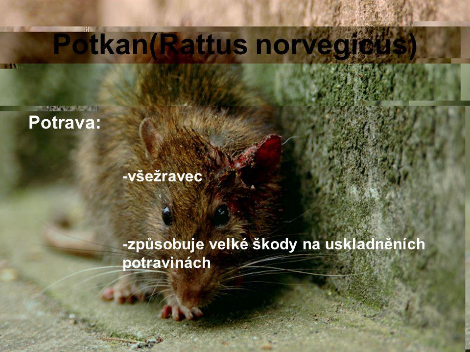 Potkan(Rattus norvegicus) Potrava: -všežravec -způsobuje velké škody na uskladněních potravinách
