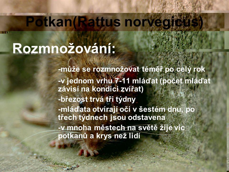 Potkan(Rattus norvegicus) Rozmnožování: -může se rozmnožovat téměř po celý rok -v jednom vrhu 7-11 mláďat (počet mláďat závisí na kondici zvířat) -bře