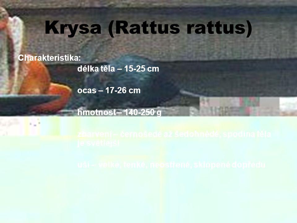 Krysa (Rattus rattus) Charakteristika: délka těla – 15-25 cm ocas – 17-26 cm hmotnost – 140-250 g zbarvení – černošedé až šedohnědé, spodina těla je s