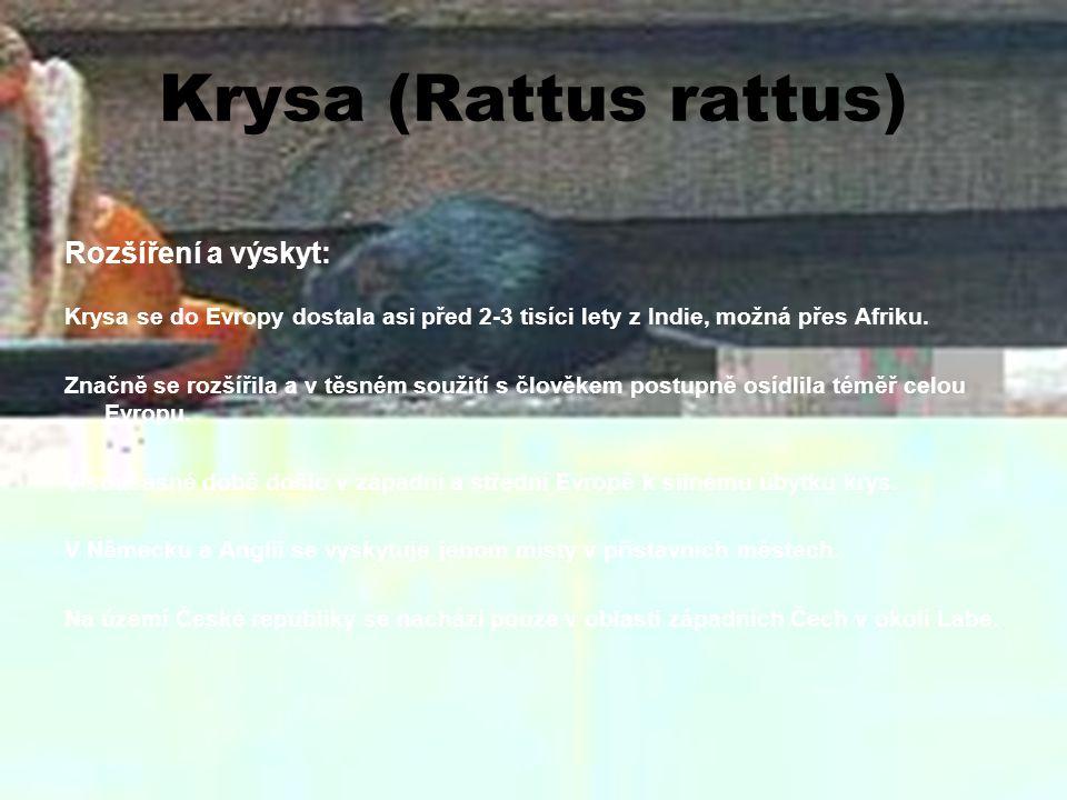 Krysa (Rattus rattus) Rozšíření a výskyt: Krysa se do Evropy dostala asi před 2-3 tisíci lety z Indie, možná přes Afriku. Značně se rozšířila a v těsn