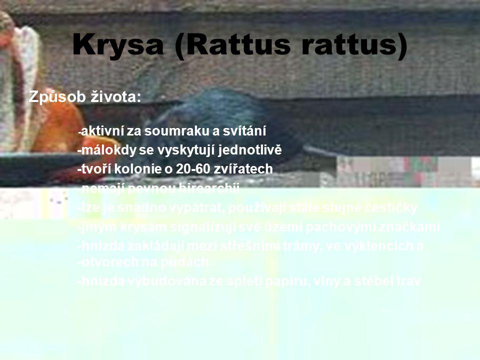 Krysa (Rattus rattus) Potrava: -jídelníček pestrý, obsahuje všechny možné složky -převažuje rostlinná strava -působí velké škody v sýpkách a spížích