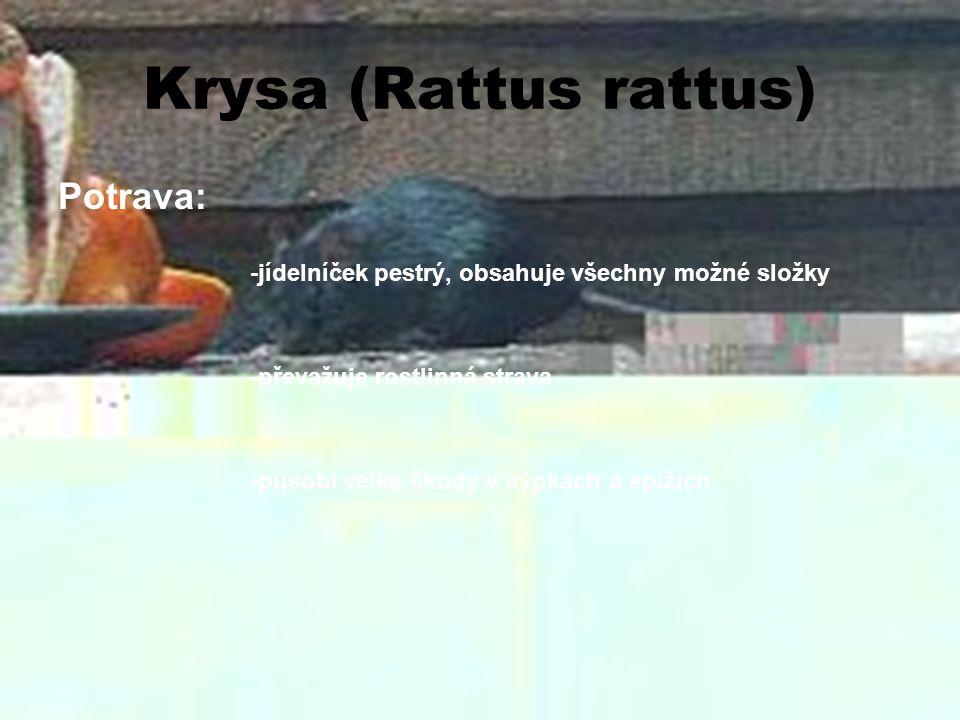 Krysa (Rattus rattus) Rozmnožování: - samičky jsou březí téměř po celý rok -průměrný vrh – 7 mláďat -březost 21-23 dní -mláďata schopna rozmnožování po 3 měsících