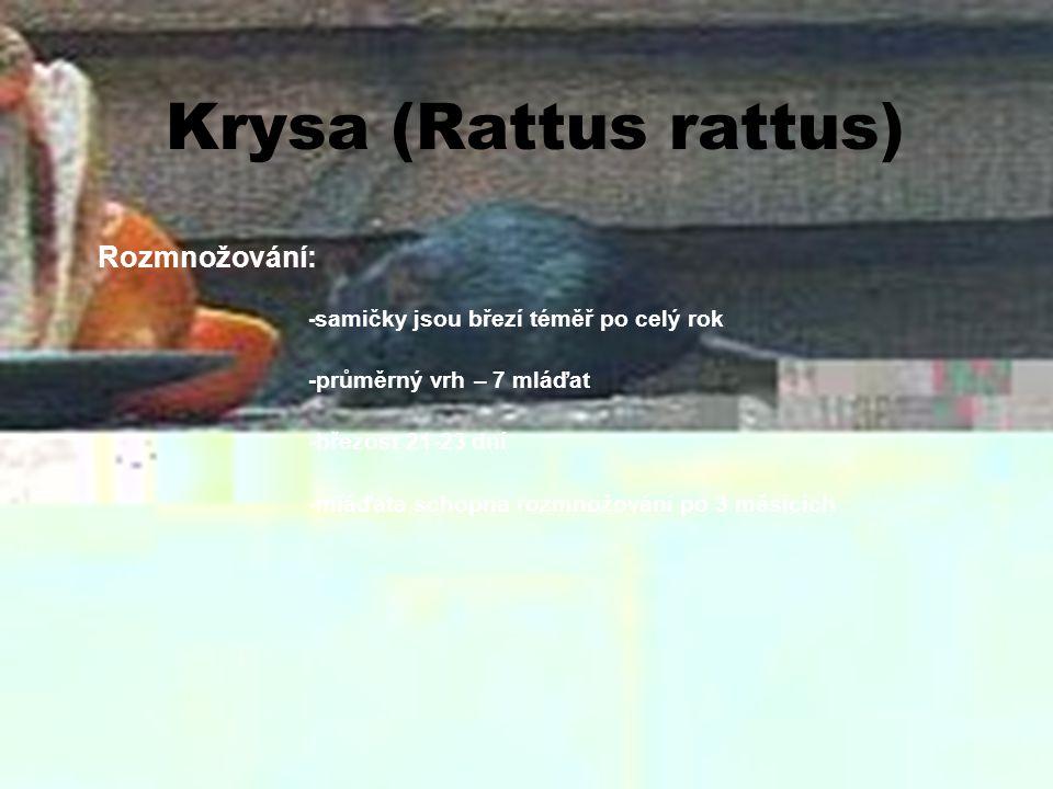 Krysa (Rattus rattus) Rozmnožování: - samičky jsou březí téměř po celý rok -průměrný vrh – 7 mláďat -březost 21-23 dní -mláďata schopna rozmnožování p
