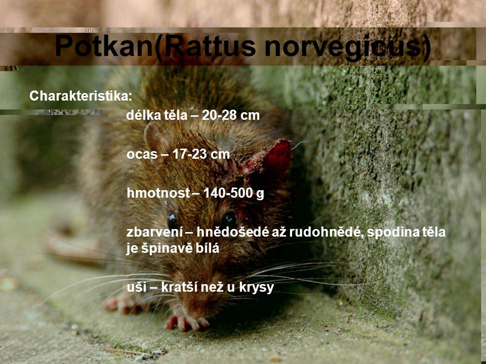 Potkan(Rattus norvegicus) Charakteristika: délka těla – 20-28 cm ocas – 17-23 cm hmotnost – 140-500 g zbarvení – hnědošedé až rudohnědé, spodina těla