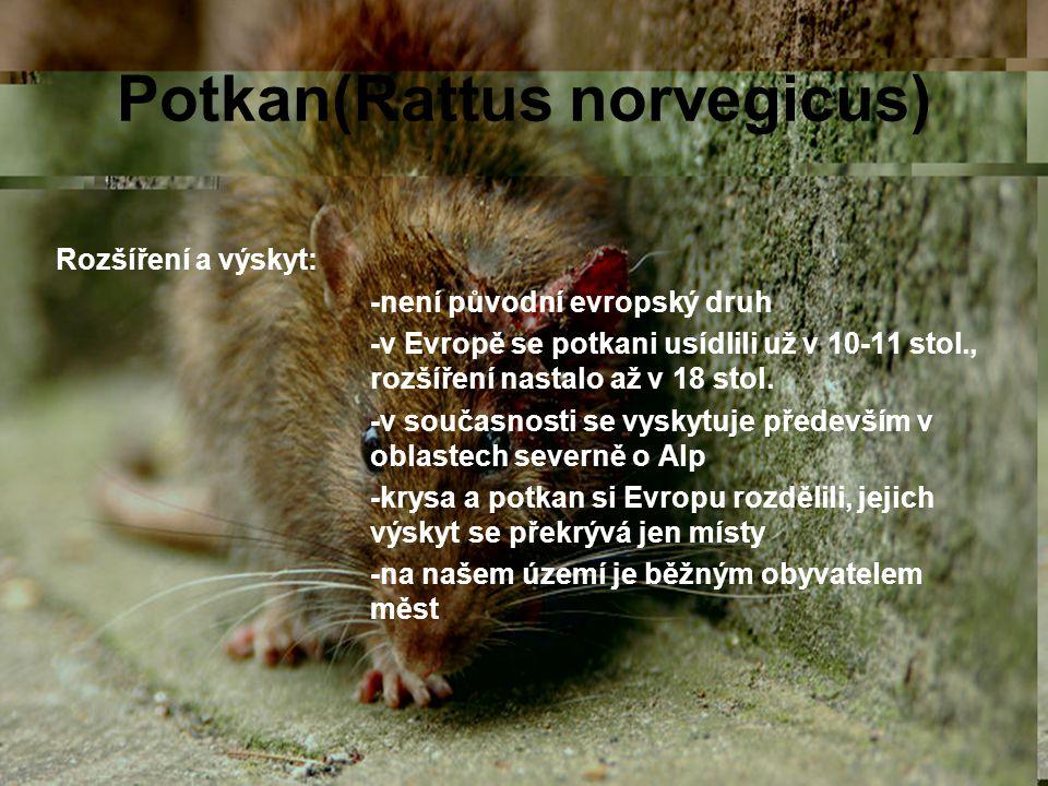 Potkan(Rattus norvegicus) Rozšíření a výskyt: -není původní evropský druh -v Evropě se potkani usídlili už v 10-11 stol., rozšíření nastalo až v 18 st