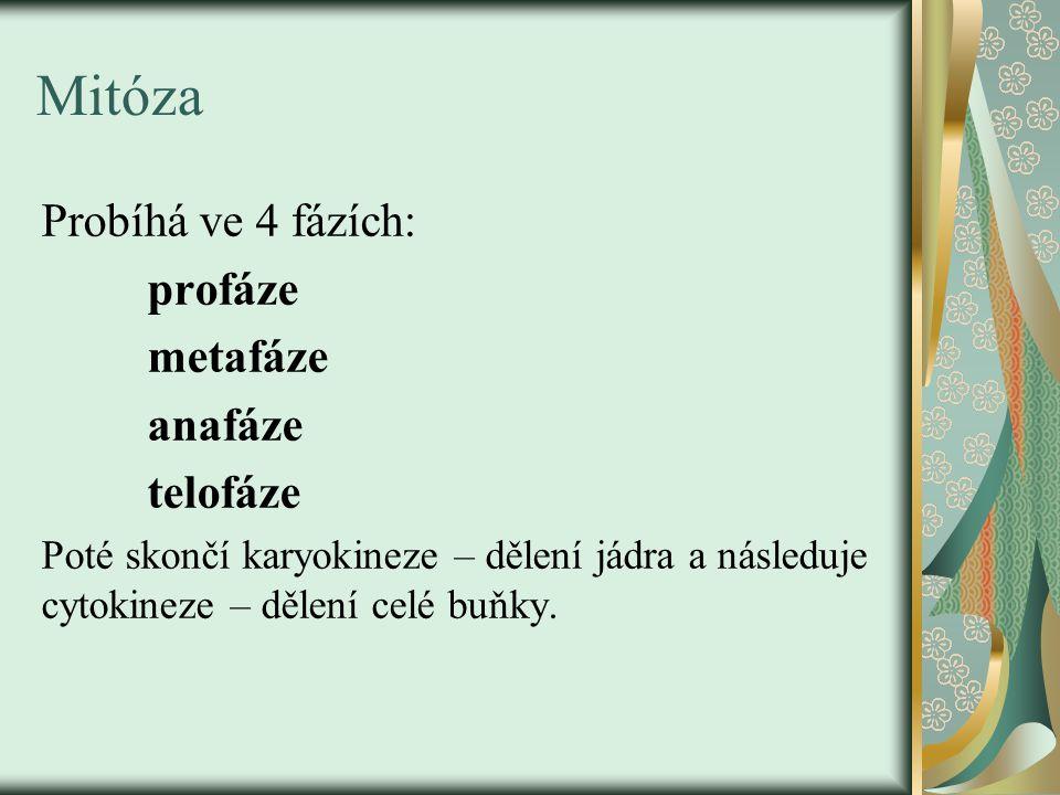 Mitóza Probíhá ve 4 fázích: profáze metafáze anafáze telofáze Poté skončí karyokineze – dělení jádra a následuje cytokineze – dělení celé buňky.