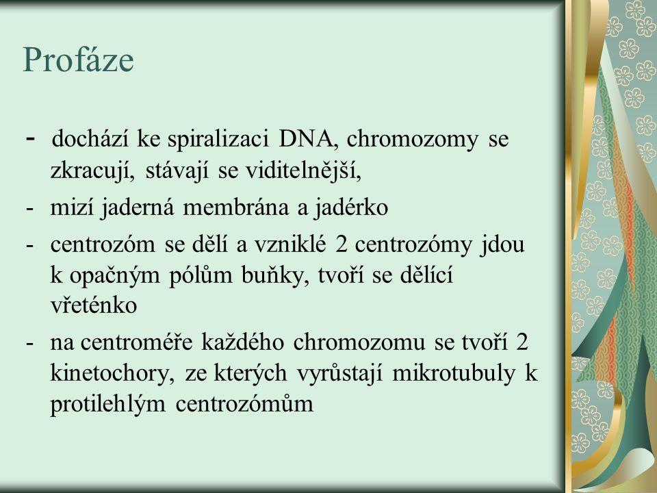 Profáze - dochází ke spiralizaci DNA, chromozomy se zkracují, stávají se viditelnější, -mizí jaderná membrána a jadérko -centrozóm se dělí a vzniklé 2 centrozómy jdou k opačným pólům buňky, tvoří se dělící vřeténko -na centroméře každého chromozomu se tvoří 2 kinetochory, ze kterých vyrůstají mikrotubuly k protilehlým centrozómům
