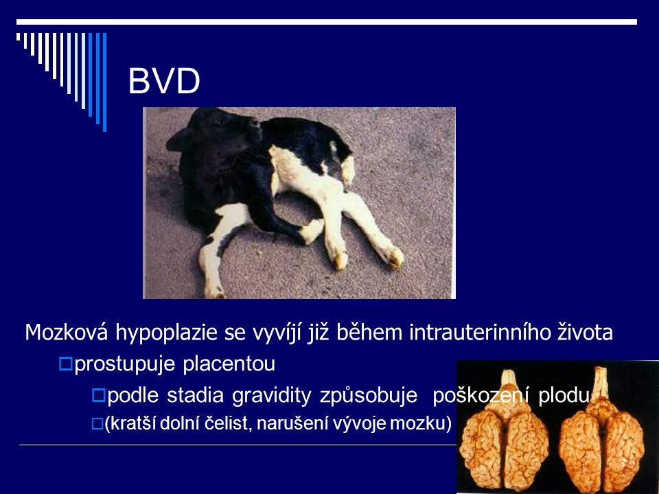 BVD Mozková hypoplazie se vyvíjí již během intrauterinního života  prostupuje placentou  podle stadia gravidity způsobuje poškození plodu  (kratší