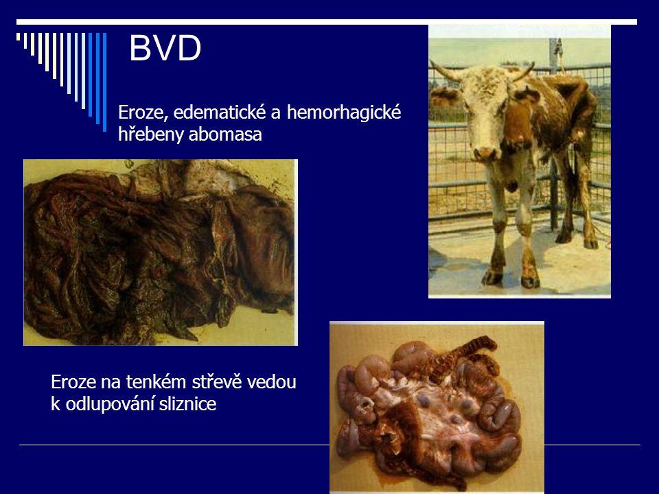 BVD Eroze, edematické a hemorhagické hřebeny abomasa Eroze na tenkém střevě vedou k odlupování sliznice