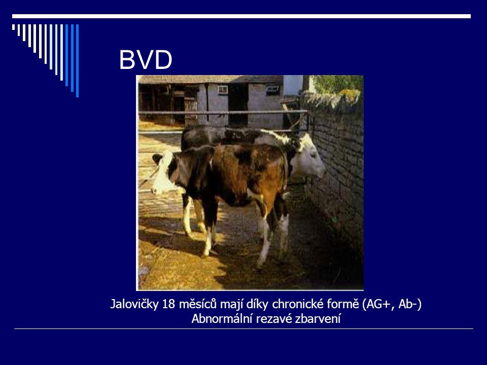 BVD Jalovičky 18 měsíců mají díky chronické formě (AG+, Ab-) Abnormální rezavé zbarvení