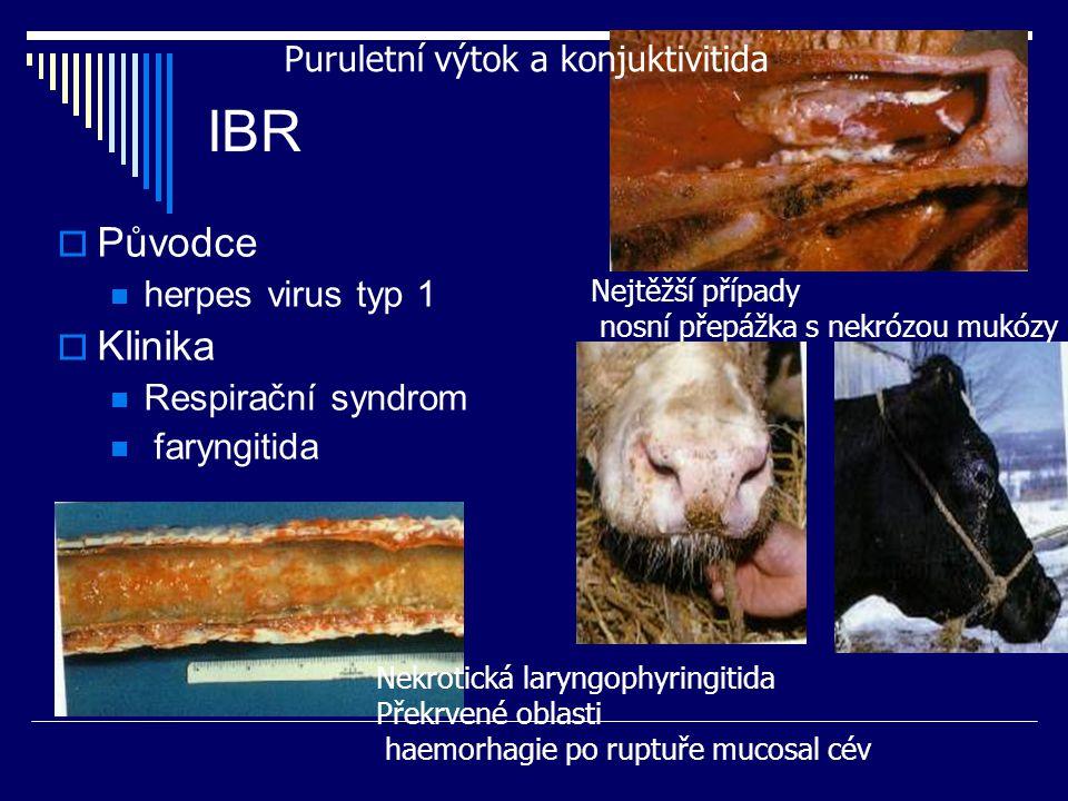 IBR  Původce herpes virus typ 1  Klinika Respirační syndrom faryngitida Puruletní výtok a konjuktivitida Nekrotická laryngophyringitida Překrvené ob