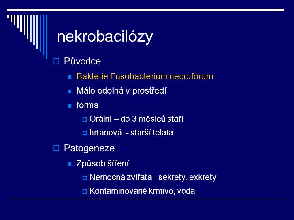 nekrobacilózy  Původce Bakterie Fusobacterium necroforum Málo odolná v prostředí forma  Orální – do 3 měsíců stáří  hrtanová - starší telata  Pato