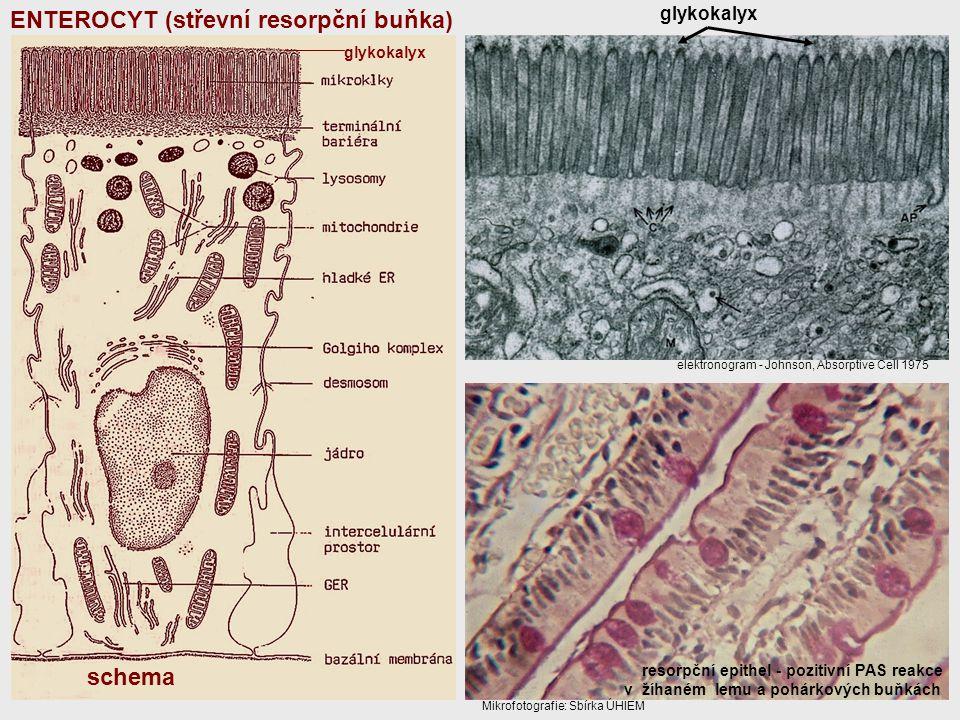 glykokalyx resorpční epithel - pozitivní PAS reakce v žíhaném lemu a pohárkových buňkách elektronogram - Johnson, Absorptive Cell 1975 Mikrofotografie