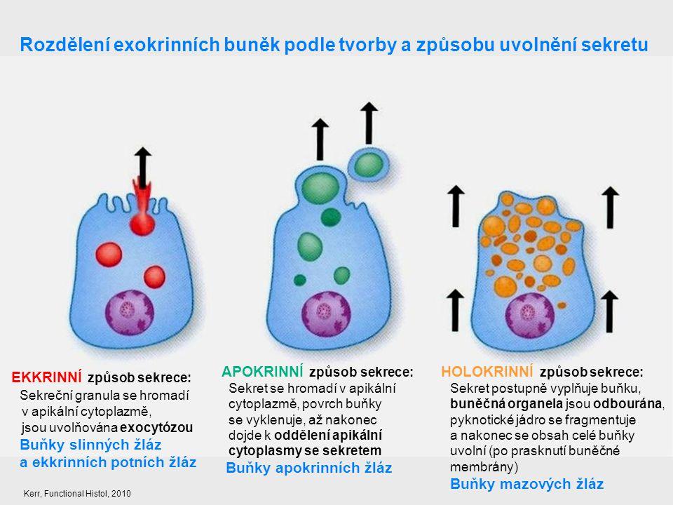Rozdělení exokrinních buněk podle tvorby a způsobu uvolnění sekretu EKKRINNÍ způsob sekrece: Sekreční granula se hromadí v apikální cytoplazmě, jsou u