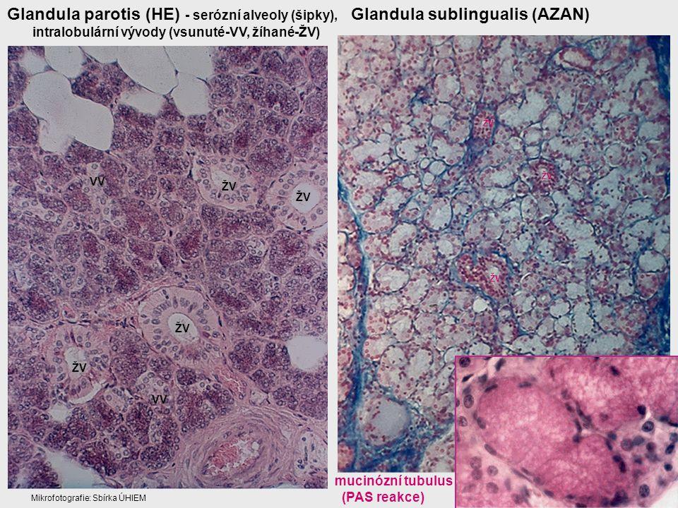 Glandula parotis (HE) - serózní alveoly (šipky), intralobulární vývody (vsunuté-VV, žíhané-ŽV) Glandula sublingualis (AZAN) ŽV VV ŽV mucinózní tubulus