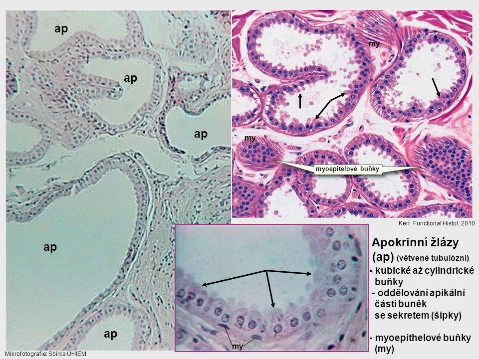 Apokrinní žlázy (ap) (větvené tubulózní) myoepitelové buňky - kubické až cylindrické buňky - oddělování apikální části buněk se sekretem (šipky) - myo
