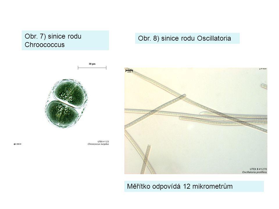 Obr. 8) sinice rodu Oscillatoria Obr. 7) sinice rodu Chroococcus Měřítko odpovídá 12 mikrometrům