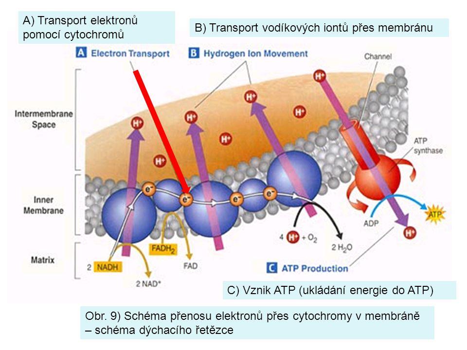 B) Transport vodíkových iontů přes membránu A) Transport elektronů pomocí cytochromů Obr. 9) Schéma přenosu elektronů přes cytochromy v membráně – sch
