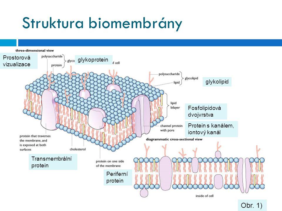 Struktura biomembrány Obr. 1) glykolipid Prostorová vizualizace Periferní protein Transmembrální protein glykoprotein Fosfolipidová dvojvrstva Protein