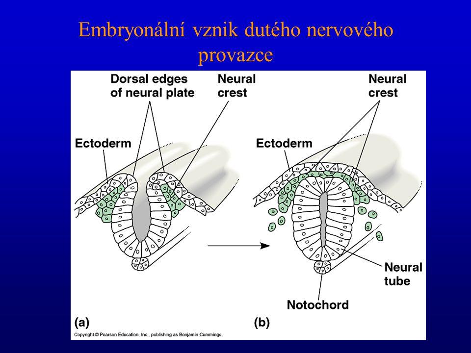 Chordata charakterizují čtyři anatomické rysy Notochord (= chorda dorsalis = struna hřbetní) Hřbetní, dutý nervový provazec Žaberní štěrbiny Svalnatý,