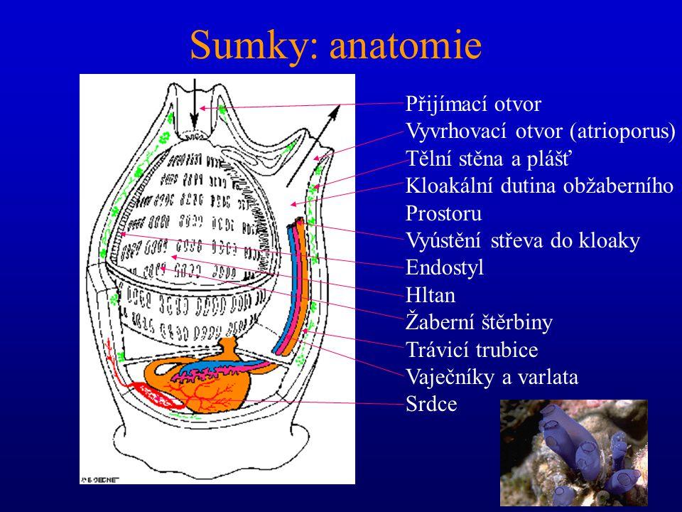 Podkmen Pláštěnci (Urochordata) třída: Sumky (Ascidiacea)1 900 třída: Salpy (Thaliacea) 50 třída: Vršenky (Copelata) 60 Salpy: Thetys vagina Sumky: Me