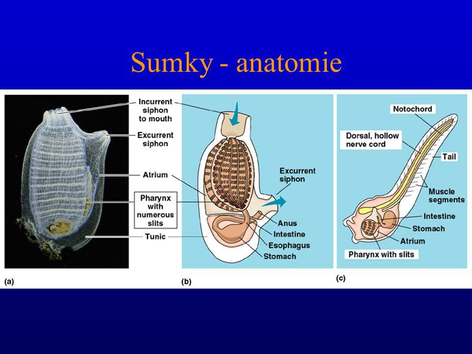Sumky: anatomie Přijímací otvor Vyvrhovací otvor (atrioporus) Tělní stěna a plášť Kloakální dutina obžaberního Prostoru Vyústění střeva do kloaky Endo