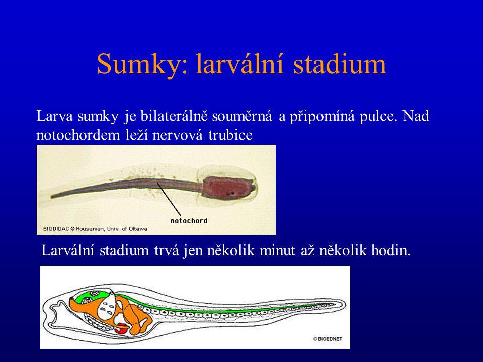 Sumky - anatomie