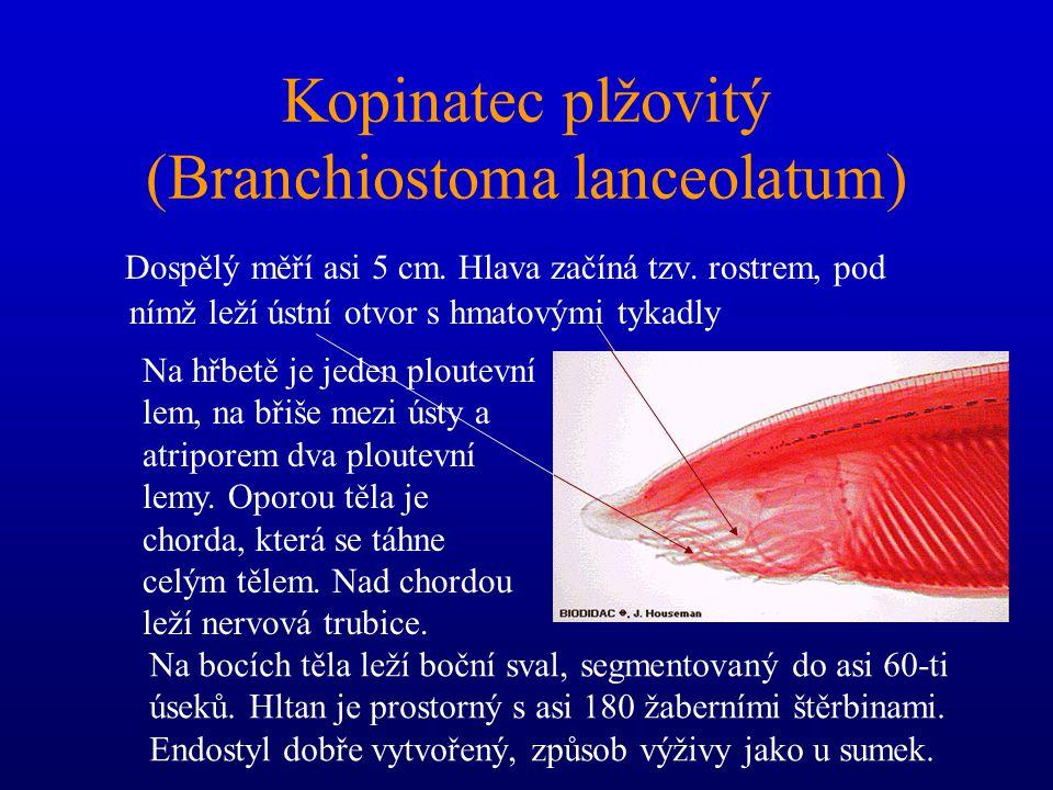 Podkmen: Cephalochordata (Bezlebeční) Znaky společné s pláštěnci: jednovrstevná pokožka, obžaberní prostor, hltan upravený k filtrování potravy Znaky