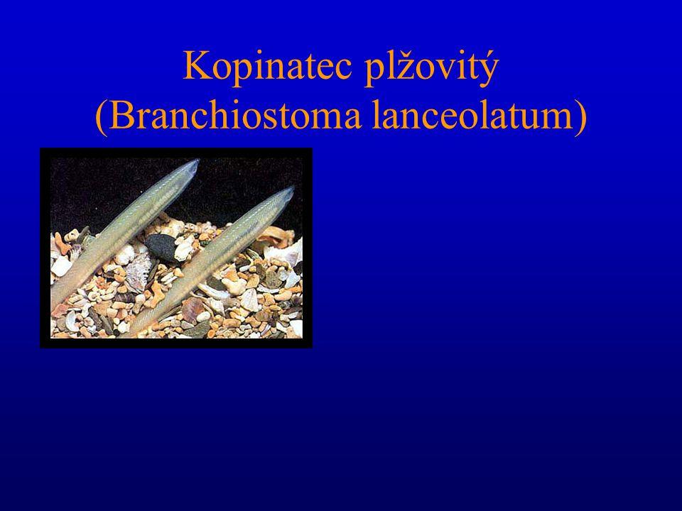 Kopinatec plžovitý (Branchiostoma lanceolatum) Dospělý měří asi 5 cm. Hlava začíná tzv. rostrem, pod nímž leží ústní otvor s hmatovými tykadly Na hřbe