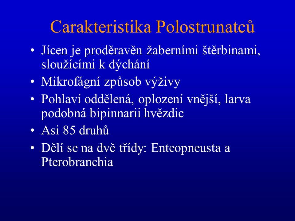 Carakteristika Polostrunatců Jícen je proděravěn žaberními štěrbinami, sloužícími k dýchání Mikrofágní způsob výživy Pohlaví oddělená, oplození vnější, larva podobná bipinnarii hvězdic Asi 85 druhů Dělí se na dvě třídy: Enteopneusta a Pterobranchia