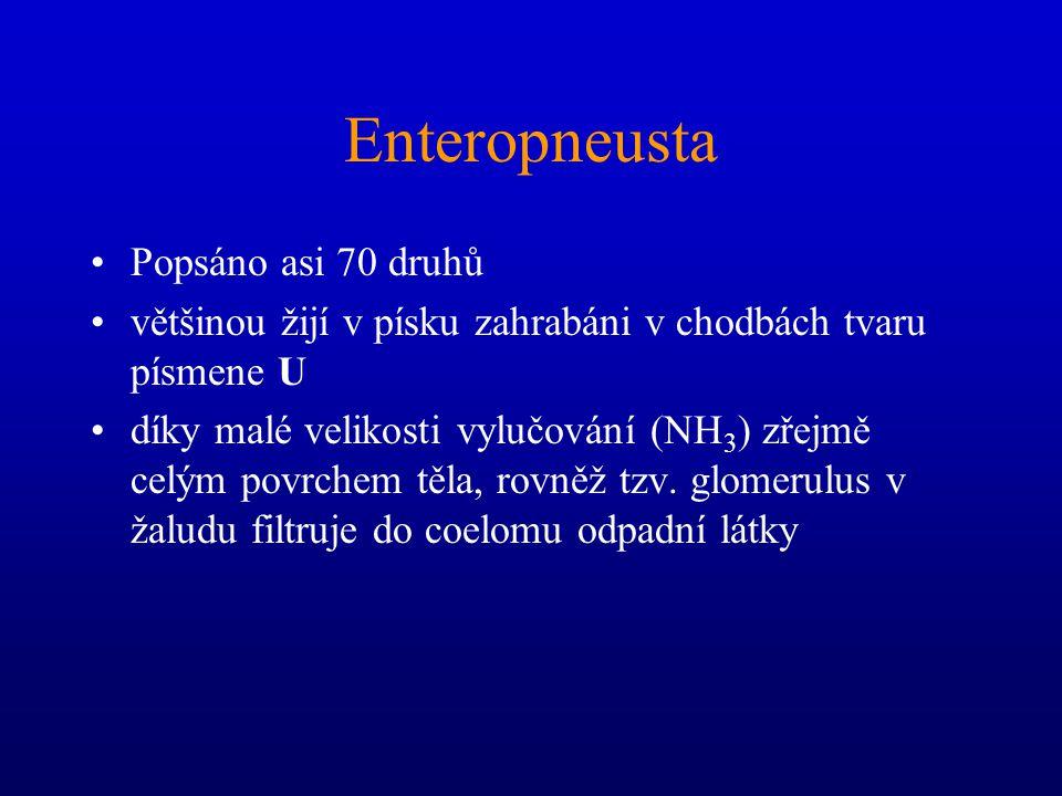 Enteropneusta Popsáno asi 70 druhů většinou žijí v písku zahrabáni v chodbách tvaru písmene U díky malé velikosti vylučování (NH 3 ) zřejmě celým povrchem těla, rovněž tzv.