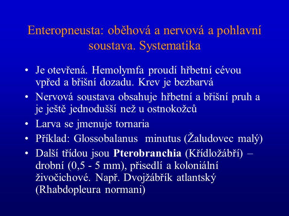 Enteropneusta Popsáno asi 70 druhů většinou žijí v písku zahrabáni v chodbách tvaru písmene U díky malé velikosti vylučování (NH 3 ) zřejmě celým povr