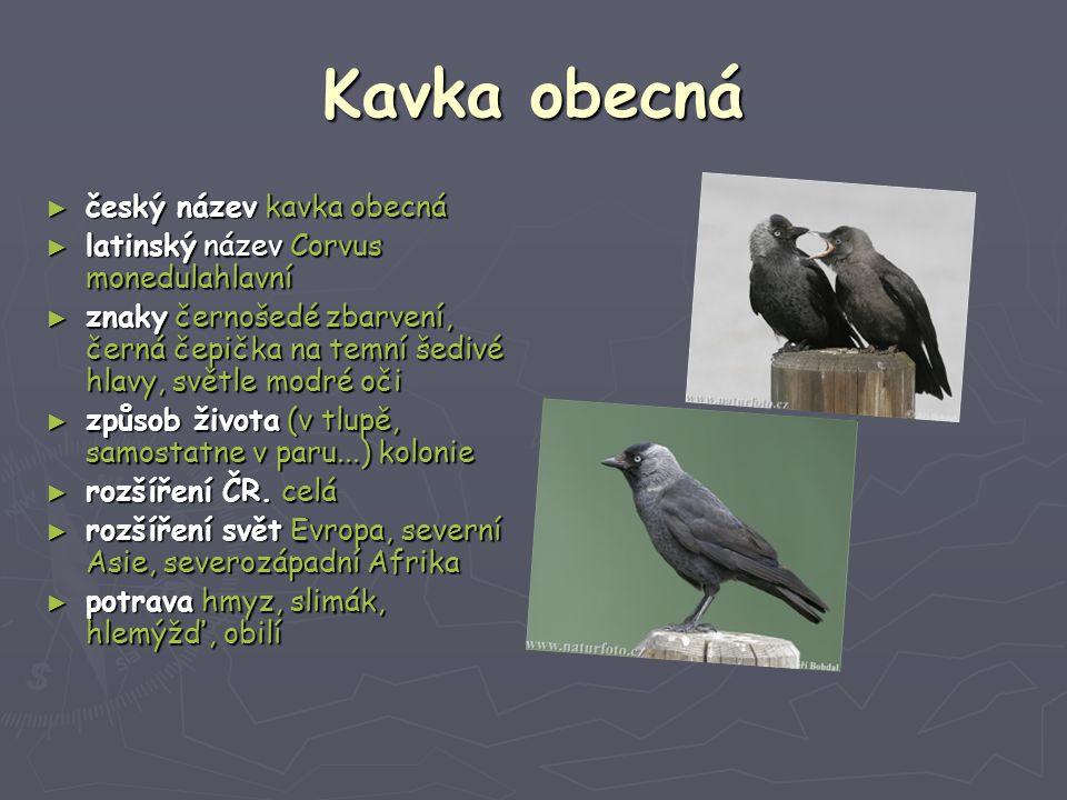 Kavka obecná ► český název kavka obecná ► latinský název Corvus monedulahlavní ► znaky černošedé zbarvení, černá čepička na temní šedivé hlavy, světle