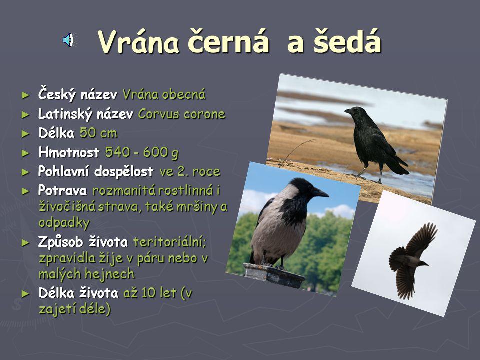 Vrána černá a a a a šedá ► Český název Vrána obecná ► Latinský název Corvus corone ► Délka 50 cm ► Hmotnost 540 - 600 g ► Pohlavní dospělost ve 2. roc
