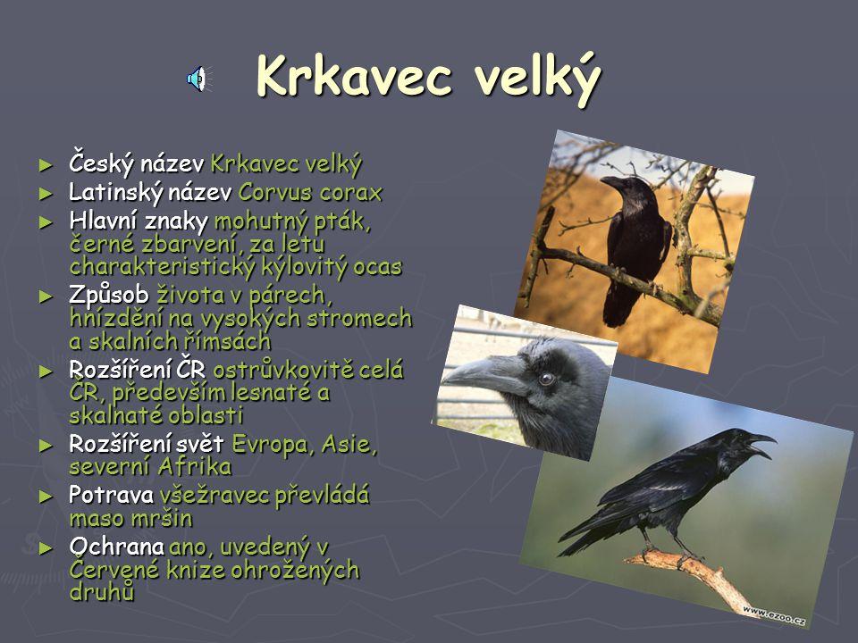 Krkavec velký ► Český název Krkavec velký ► Latinský název Corvus corax ► Hlavní znaky mohutný pták, černé zbarvení, za letu charakteristický kýlovitý