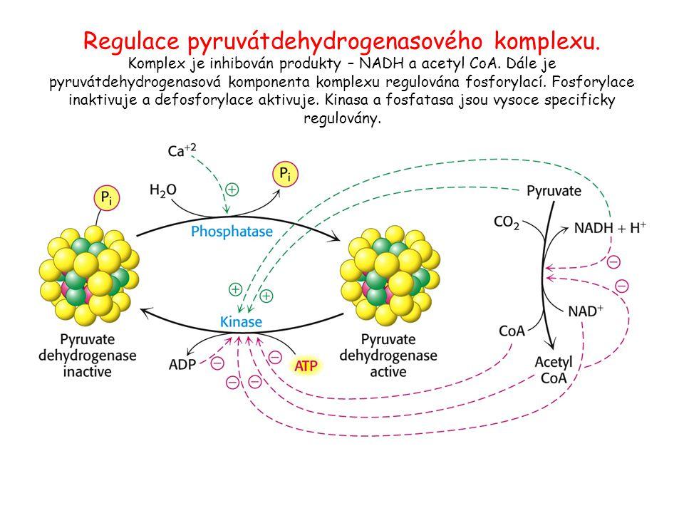 Regulace pyruvátdehydrogenasového komplexu. Komplex je inhibován produkty – NADH a acetyl CoA. Dále je pyruvátdehydrogenasová komponenta komplexu regu