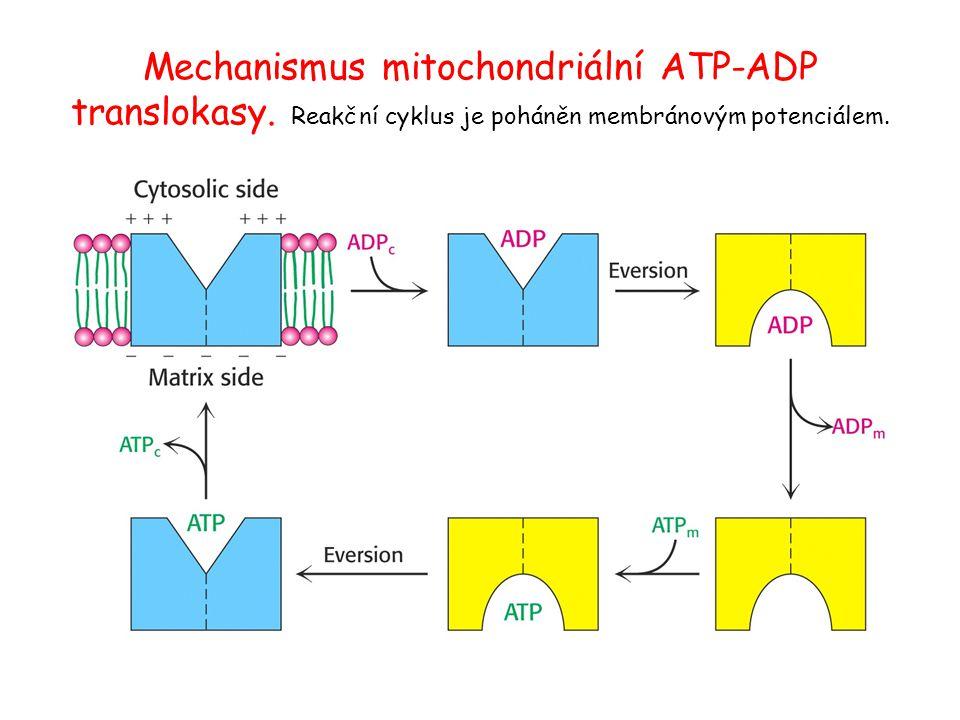 Mechanismus mitochondriální ATP-ADP translokasy. Reakční cyklus je poháněn membránovým potenciálem.