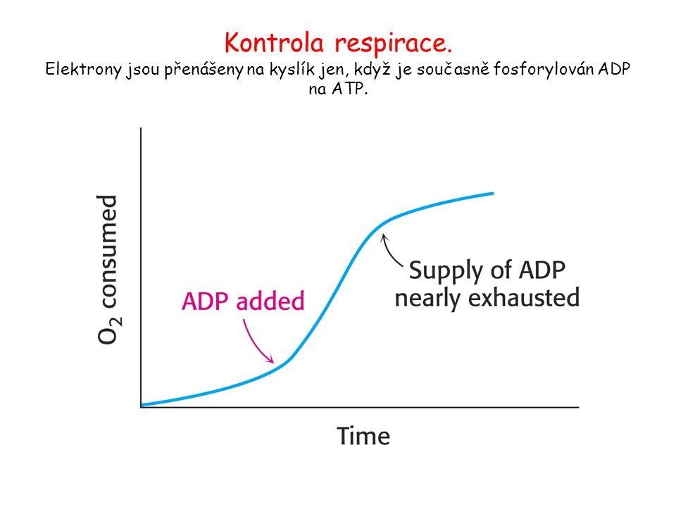 Kontrola respirace. Elektrony jsou přenášeny na kyslík jen, když je současně fosforylován ADP na ATP.