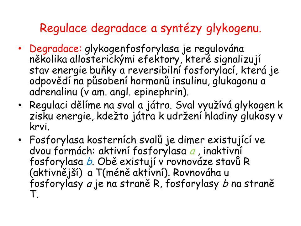 Regulace degradace a syntézy glykogenu. Degradace: glykogenfosforylasa je regulována několika allosterickými efektory, které signalizují stav energie
