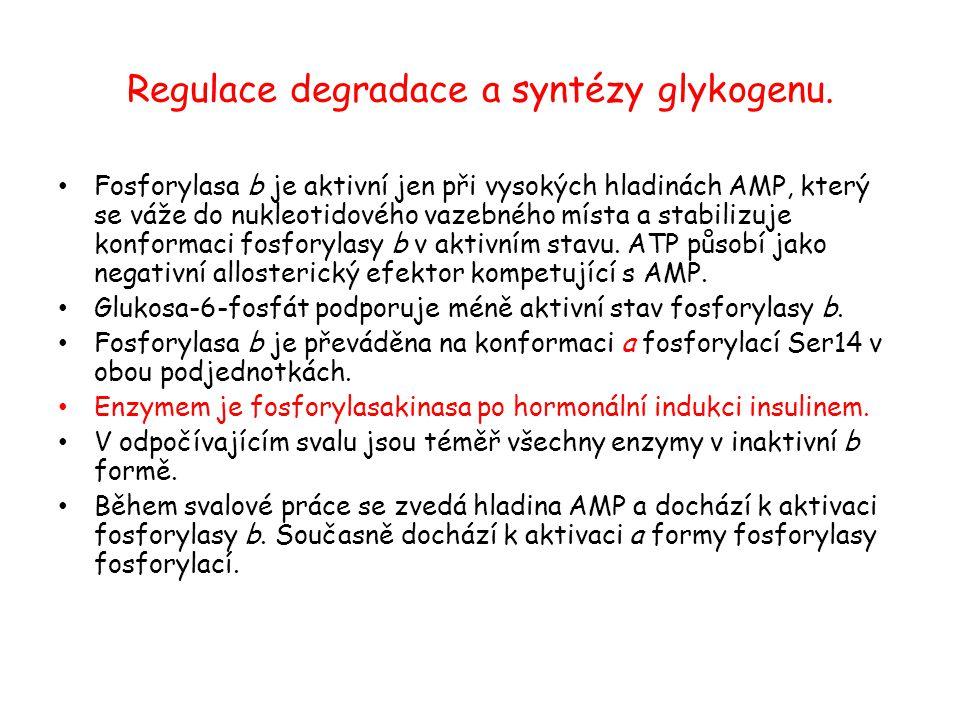 Regulace degradace a syntézy glykogenu. Fosforylasa b je aktivní jen při vysokých hladinách AMP, který se váže do nukleotidového vazebného místa a sta