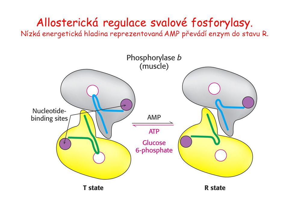 Allosterická regulace svalové fosforylasy. Nízká energetická hladina reprezentovaná AMP převádí enzym do stavu R.