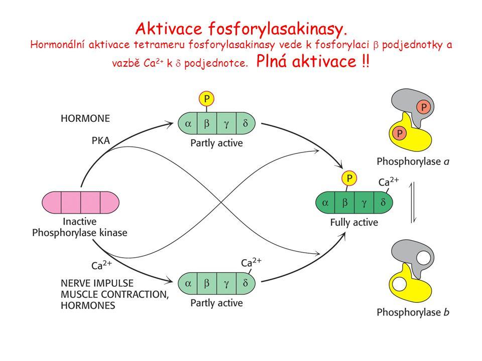 Aktivace fosforylasakinasy. Hormonální aktivace tetrameru fosforylasakinasy vede k fosforylaci  podjednotky a vazbě Ca 2+ k  podjednotce. Plná aktiv