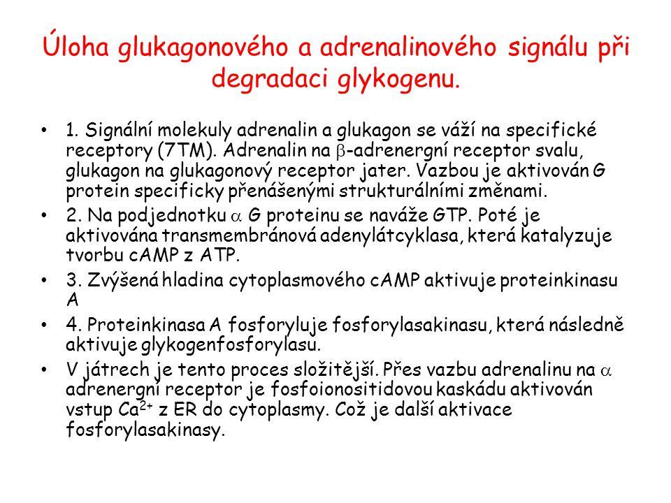 Úloha glukagonového a adrenalinového signálu při degradaci glykogenu. 1. Signální molekuly adrenalin a glukagon se váží na specifické receptory (7TM).