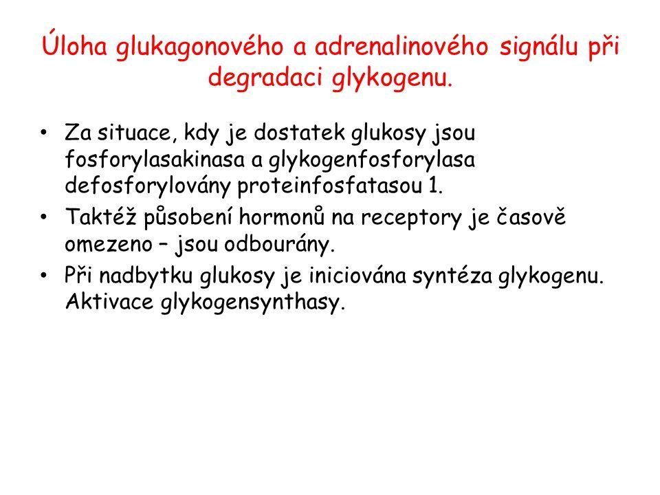 Úloha glukagonového a adrenalinového signálu při degradaci glykogenu. Za situace, kdy je dostatek glukosy jsou fosforylasakinasa a glykogenfosforylasa