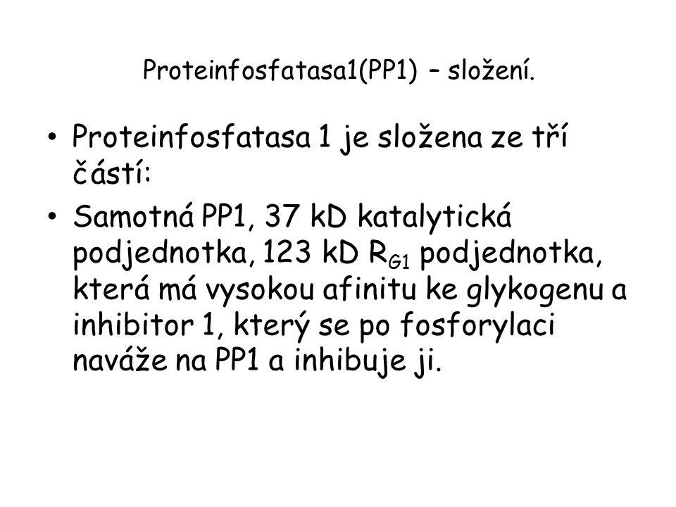 Proteinfosfatasa1(PP1) – složení. Proteinfosfatasa 1 je složena ze tří částí: Samotná PP1, 37 kD katalytická podjednotka, 123 kD R G1 podjednotka, kte
