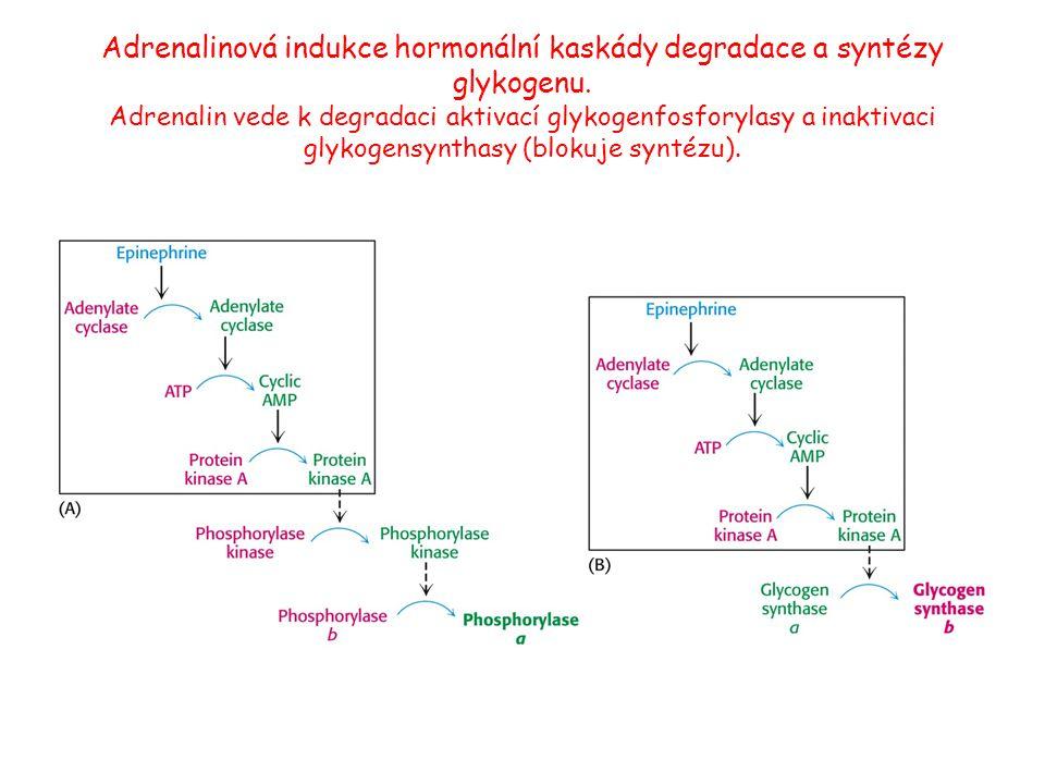 Adrenalinová indukce hormonální kaskády degradace a syntézy glykogenu. Adrenalin vede k degradaci aktivací glykogenfosforylasy a inaktivaci glykogensy